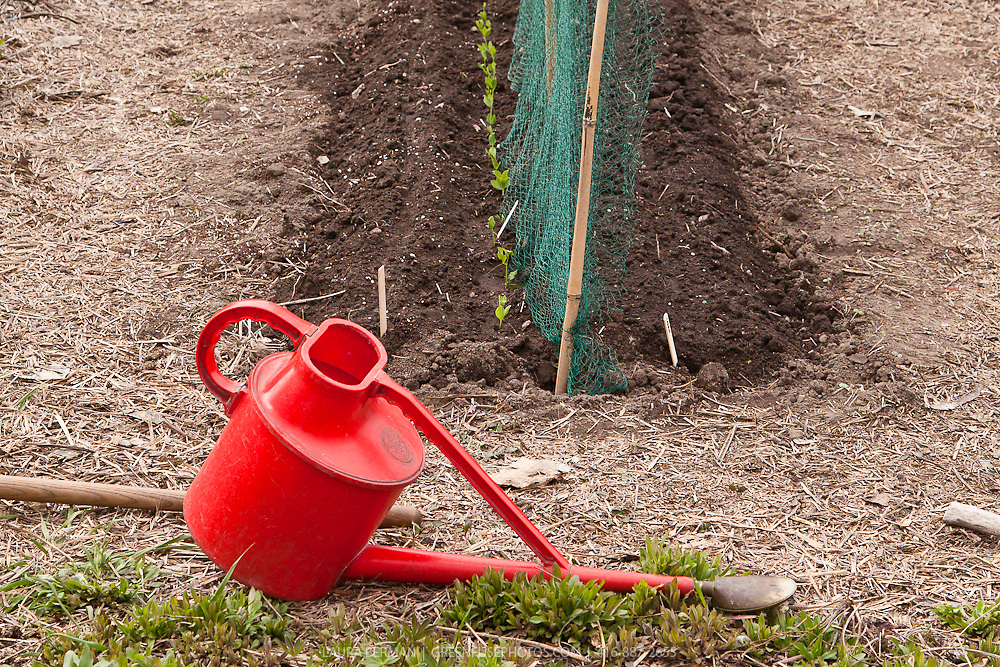 A red watering can lies  at the front of a just-planted garden bed in early spring.