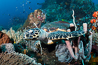 Hawksbill Turtle foraging for food<br /> <br /> Shot in Indonesia