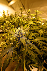 NETHERLANDS UNDISCLOSED LOCATION 8JAN14 - Detail of a small-scale cannabis farm at an undisclosed location in the Netherlands.<br /> <br /> jre/Photo by Jiri Rezac<br /> <br /> &copy; Jiri Rezac 2014