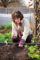 Sowing Pea 'Oregon Sugar Pod' (Mangetout) outdoors. Pisum sativum