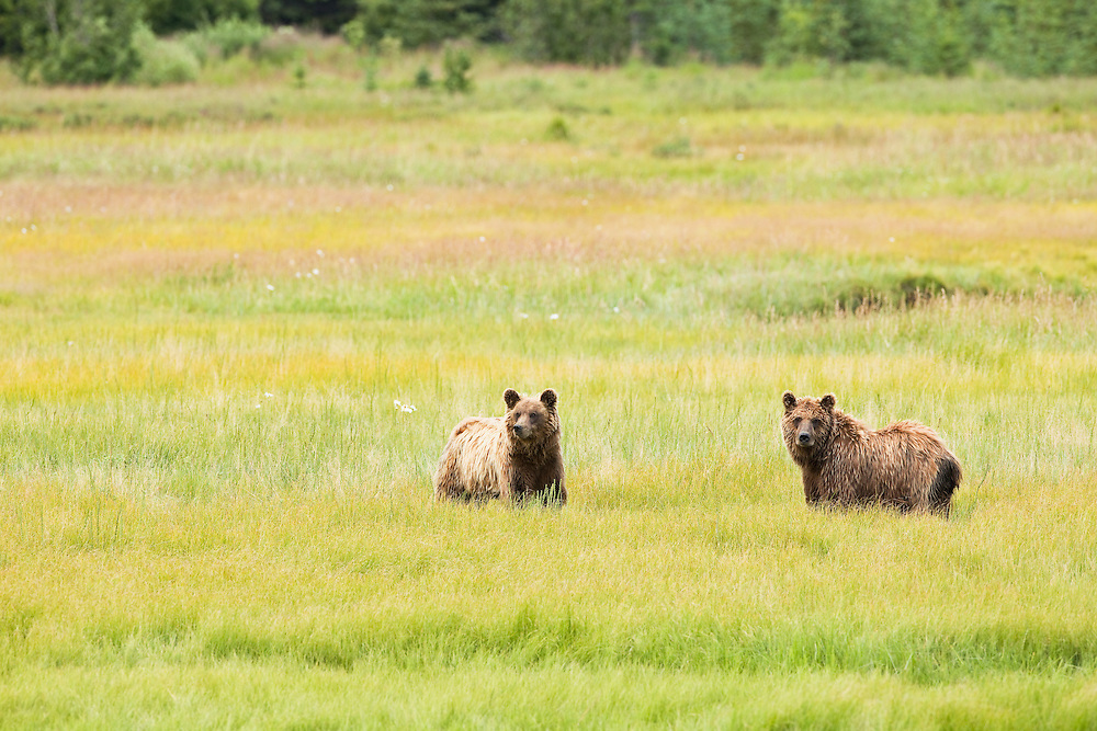 Sibling brown bears (Ursus arctos) eating sedge in meadow along Horn Creek on Glacier Spit in Chinitna Bay area of Lake Clark National Park in Southcentral Alaska. Summer. Afternoon.