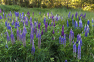 Bigleaf Lupines (Lupinus polyphyllus) blooming in the spring at Elgin Heritage Park in Surrey, British Columbia, Canada.