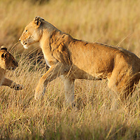 Lioness (Pathera leo) playing with cub, Masai Mara, Kenya