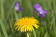 Dandelion and Dog Violet flowers