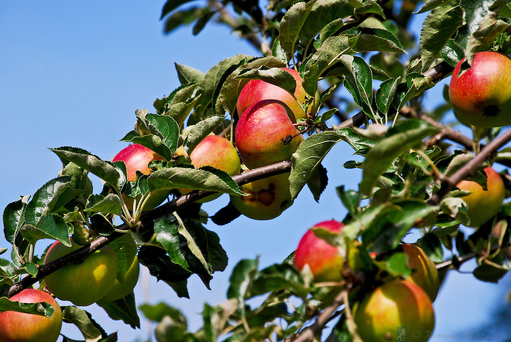 Ripening apples on Washington's Olympic Peninsula near Port Townsend in Jeffersoun County