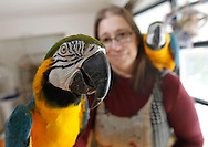 TREVOR HAGAN - Melanie Shura, with Kia and Andy, Blue and Gold Macaw Parrots. Shura runs Avian Welfare Canada. <br /> December 27, 2010