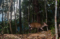 The Fea's Muntjac or Tenasserim muntjac (Muntiacus feae) is a rare species of muntjac native to China, Laos, Myanmar, Thailand and Vietnam.