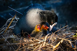 © Licensed to London News Pictures. 05/04/2020. London, UK. Newly born baby coot chicks are seen with their mother on a nest in a canal in Wapping, east London during sunny spring weather this morning. Photo credit: Vickie Flores/LNP