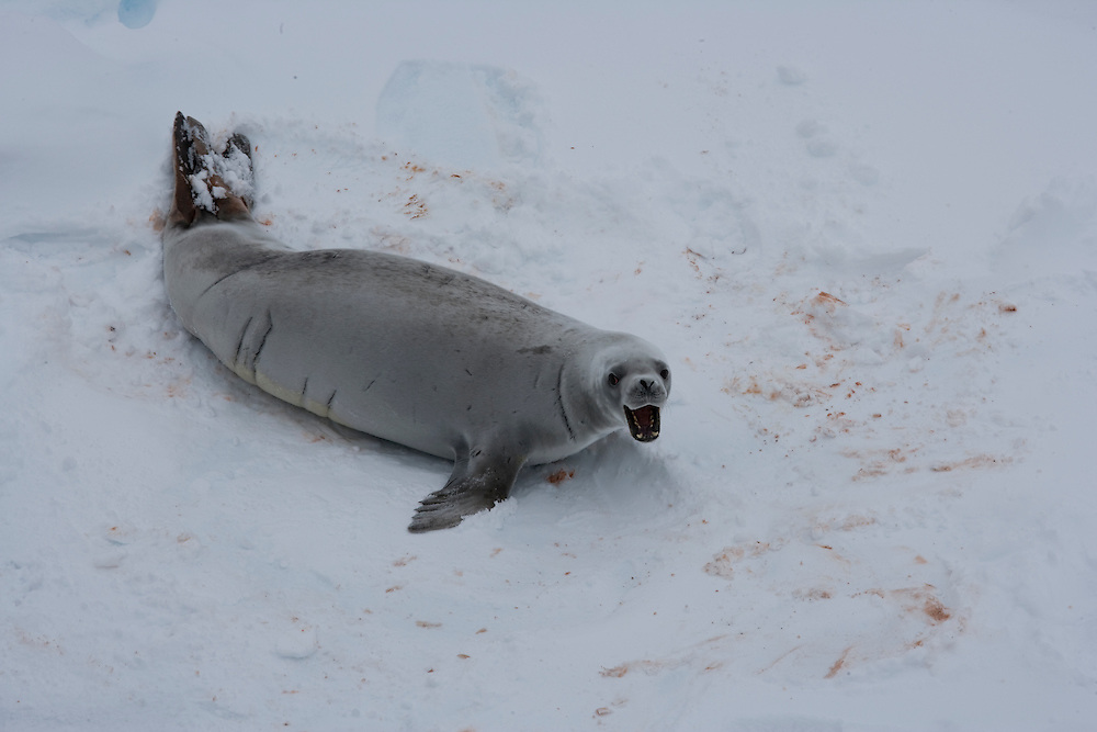 February 14th 2007. Ross Sea. Southern Ocean. A Crabeater Seal (Lobodon carcinophaga) moves atop sea ice in the Ross Sea.
