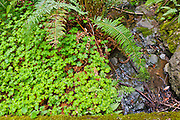 Close up view Redwood sorrel (Oxalis oregana), moss, and sword ferns (Polystichum munitum) growing by a stream in the lush understory of Muir Woods California. Muir Woods is an old growth forest, home to the giant redwoods aka coast redwoods aka California Redwoods (Sequoia sempervirens), the tallest trees on earth. Option 2: Close up view Redwood sorrel (Oxalis oregana), moss, and sword ferns (Polystichum munitum) growing by a stream in the lush understory of Muir Woods California some of the plants that thrive in the lush forest understory in Muir Woods National Monument, Marin County, California. Redwood Sorrel (Oxalis oregana) looks like clover. Muir Woods is an old growth forest, home to the giant redwoods aka coast redwoods aka California Redwoods (Sequoia sempervirens). They are the tallest trees on earth and some in the forest are 500-1,200 years old. Ferns, which reproduce via spores rather than seeds, are another ancient plant dating back 300 million years. Muir Woods is home to 13 species of ferns, most commonly seen among them are the lady, sword, maidenhair, and gold back ferns. The Western sword fern (Polystichum munitum) is from the family Dryopteridaceae (Wood ferns).