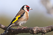Goldfinch, Southland, New Zealand
