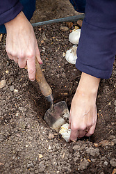 Planting allium bulbs - showing planting depth