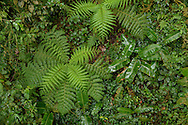 View looking down on cloud forest with tropical foliage growing on the forest floor in a gap in the trees, Monteverde Cloud Forest Reserve