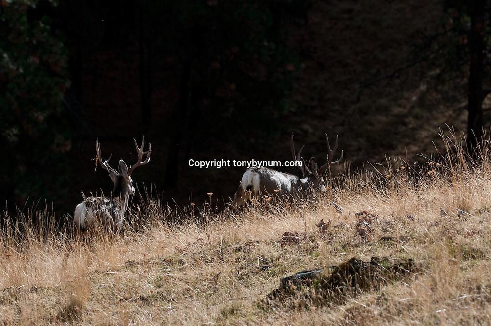 two mature mule deer bucks, side lite, walking away into dark timber