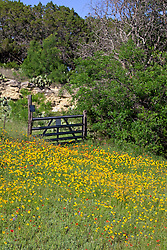 Common sunflowers (Helianthus annuus) mixed with Blanket flower (Gaillardia aristata) cover roadsides and fields along FM (Farm-to-Market) Road 2341, which borders Lake Buchanan in the Highland Lakes area of Central Texas.