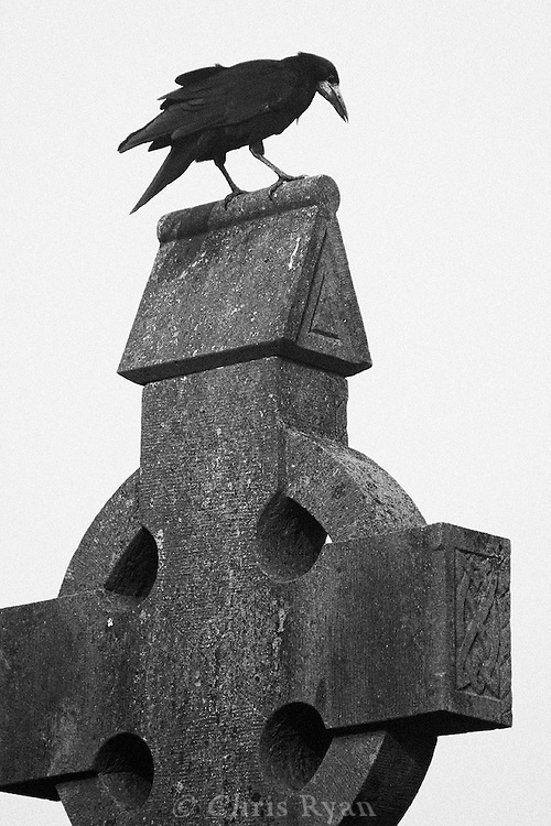 Crow and celtic cross, County Limerick, Ireland