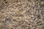 wild grasses in arid high desert environment