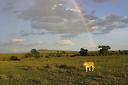 Lion<br /> Panthera leo<br /> Adult female with rainbow in background<br /> Masai Mara Reserve, Kenya