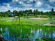 10 AUGUST 2017 - UBUD, BALI, INDONESIA: A recently transplanted rice field about 1.5 kilometers from downtown Ubud. Rice is the most important crop grown on Bali and is important as a food source and a symbol of Balinese culture. In accordance with Balinese tradition, men transplant the young rice plants from nurseries to the fields and women harvest the rice when it matures.     PHOTO BY JACK KURTZ