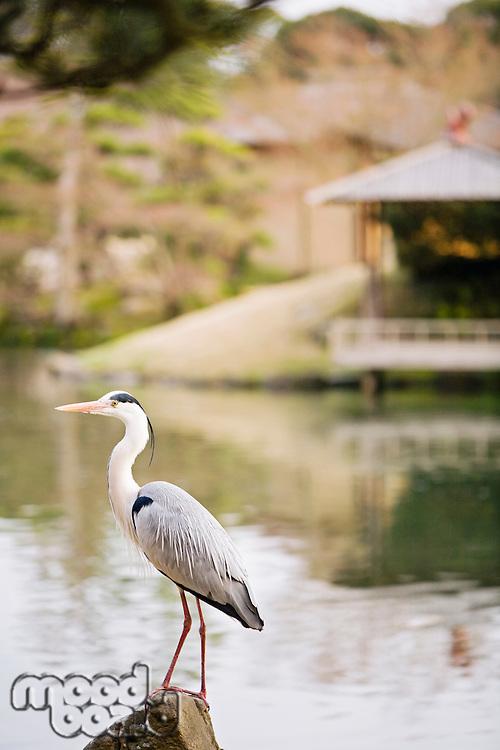 Grey Heron in Korakuen Garden in Okayama