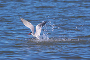 A Caspian tern (Hydroprogne caspia) takes off with a fish it caught in Possession Sound near Everett, Washington.