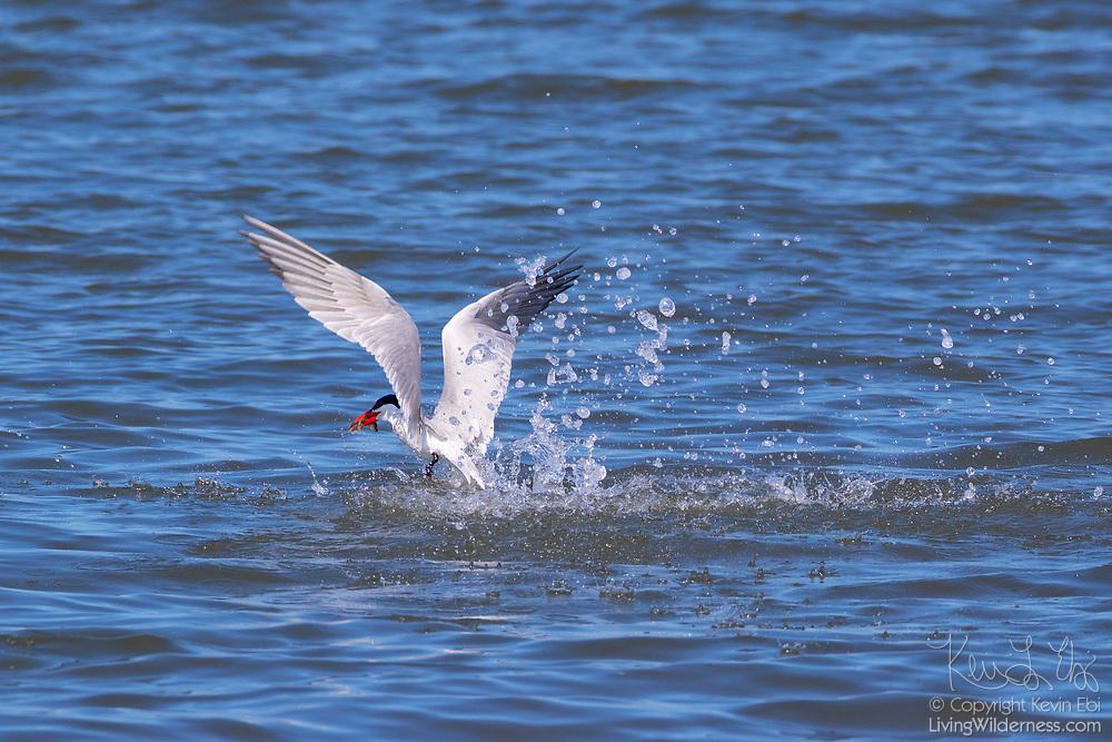 A Caspian tern (Hydroprogne caspia) takes off with a fish it caught in Possession Sound near Everett, Washington.