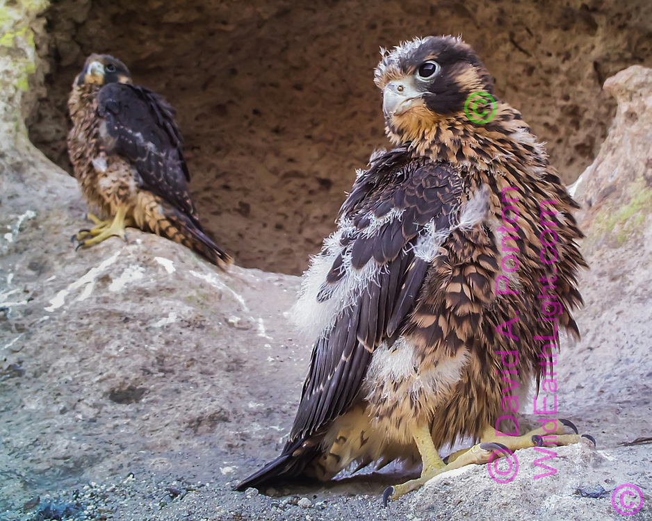 Nestling peregrine falcons 34 days old in front of their eyrie cave, leg strength well developed enabling them to stand for long periods.  The down feathers are mostly shed and the normal juvenile pelage almost complete. © 2013 David A. Ponton