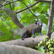 Gray-bellied squirrel (Callosciurus caniceps).