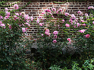 Some of the last roses of the season seen at the Central Park precinct of the New York Police Department