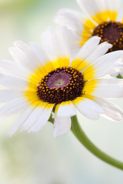 Chrysanthemum carinatum 'Polar Star' - annual chrysanthemum