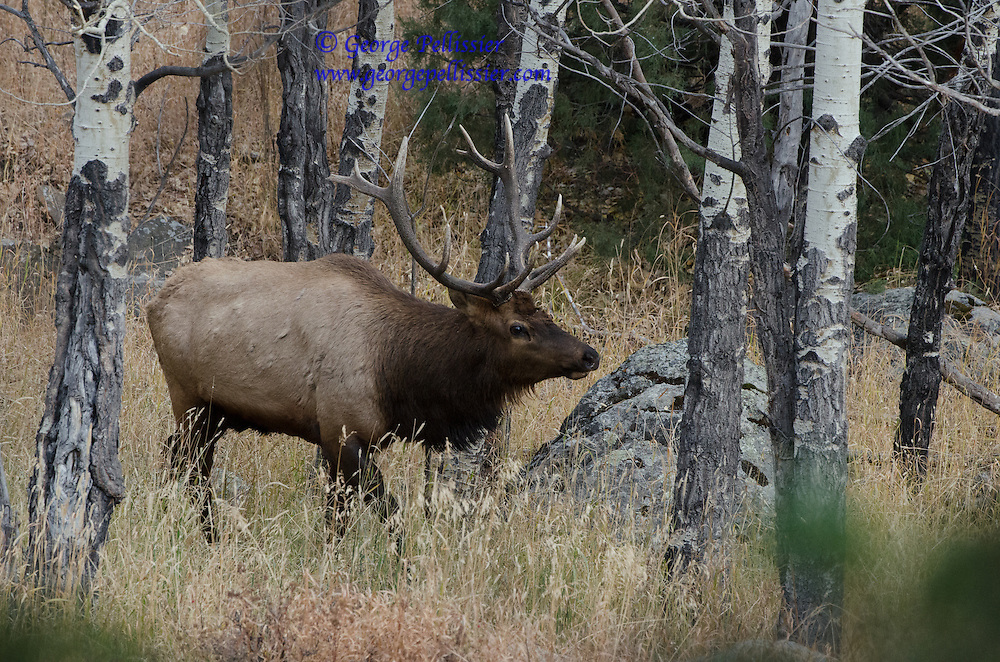 A Bull Elk in the Aspens at Rocky Mountain National Park, Colorado.