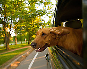 Hound dog leans out car window for some fresh air in Sacramento, CA.