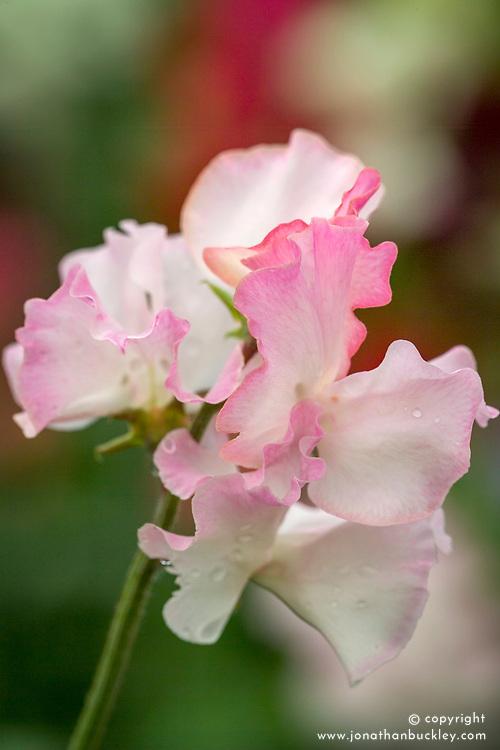 Lathyrus odoratus 'Anniversary' - sweet pea