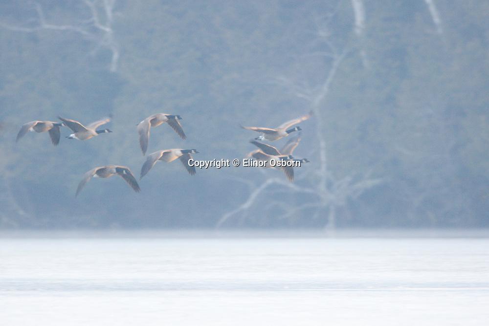 Canada Geese flying in fog