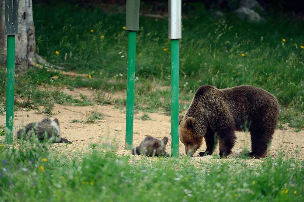 Brown bear, Ursus arctos, at feeding site/hunting site in  Piatra Craiului, the Cartpathians, Transsylvania, Romania