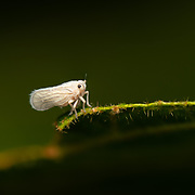 Nisia nervosa AKA the grey planthopper in Pang Sida National Park, Thailand.