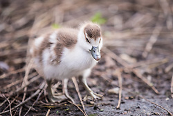 © Licensed to London News Pictures. 28/02/2017. London, UK. A baby goose photographed in St James's Park London, an early sign of Spring. Photo credit: Rob Pinney/LNP