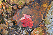 Red maple leaves (Acer rubrum) at Hatchery Falls in autumn, Near Rosseau, Ontario, Canada