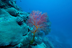 "A beautiful Gorgonian fan coral grows on ""The Wall"" at Mermaid Reef, the Rowley Shoals."