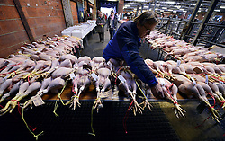 © Licensed to London News Pictures. 21/12/2012. Reading, UK Customers look at the lots before bidding begins. Auction house Thimbleby and Shorland holds its annual traditional christmas poultry sale today 21st December 2012 in Reading, Berkshire. Over 500 lots of fresh turkeys, chickens, geese and duck, all oven ready and rough plucked were available for sale. The general public in the UK are reported  to spend over 300 million GBP on turkey over the Christmas season.. Photo credit : Stephen Simpson/LNP