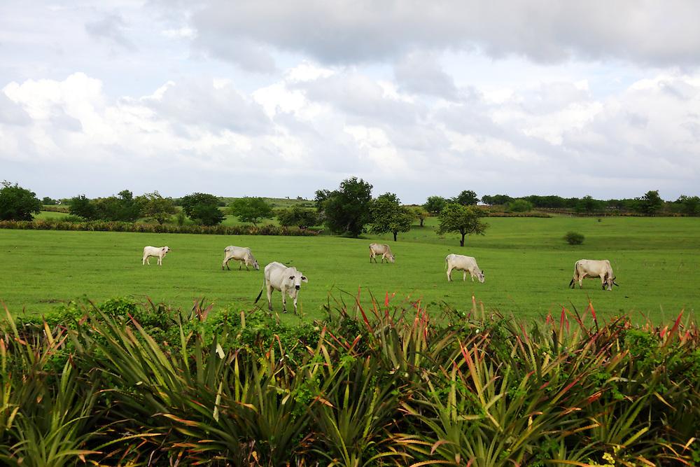 Cows in Playa Blanca, Holguin, Cuba.