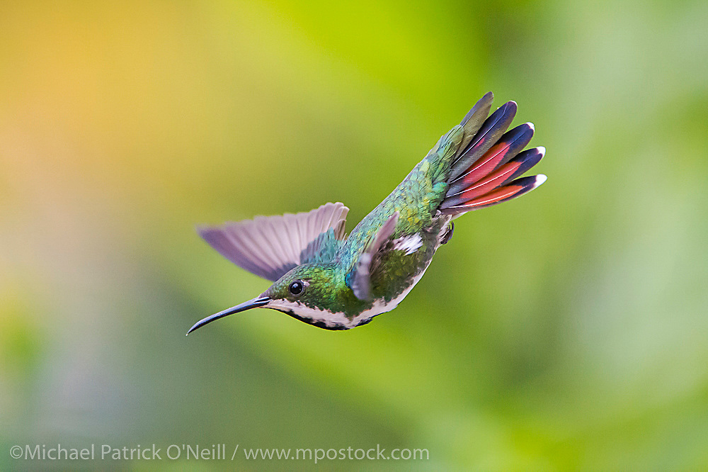 Awild female Black Throated Mango Hummingbird, Anthracothorax nigricollis, one of 16 hummingbird species found in Trinidad and Tobago.