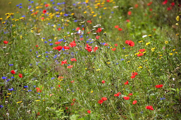 Nederland, Nijmegen, 23-6-2018In het Goffertpark zijn stroken ingezaaid met wilde bloemen, veldbloemen, om bijen en andere insekten te lokken. Nijmegen is green capital of europe dit jaar en dit is een van de uitingen daarvan .Foto: Flip Franssen