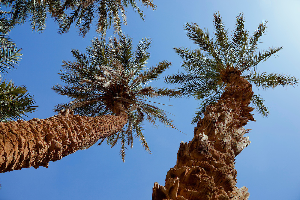 Group of date palms (Phoenix dactylifera) against blue sky in the Sahara desert of Morocco.