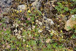 Blaugrüner Faserschirm, Trinia glauca