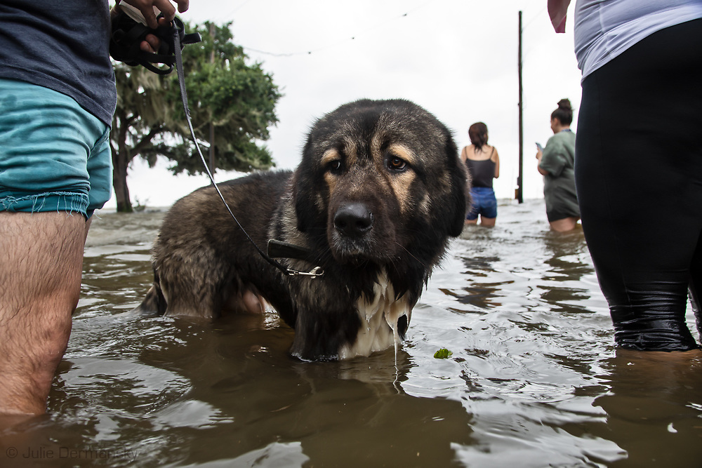 Dog  in the floodwater at Mandeville's lakefront after Tropical storm Barry turned into Hurricane Barry and water pushed in from Lake Pontchartrain.