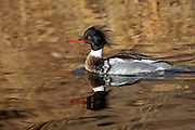 Stock Photo of red-breated merganser captured in Colorado.  These birds breed farther north and winter farther south than other mergansers