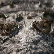 American Crocodile, Crocodylus acutus, Belize Zoo, Belize