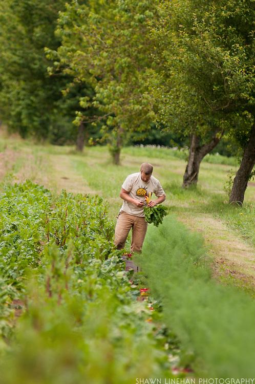 Male farm worker cutting chard.