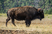 A famous herd of 1500 bison freely roam Custer State Park, as seen along Wildlife Loop Road, in the Black Hills, South Dakota, USA. South Dakota's largest and first state park was named after Lt. Colonel George Armstrong Custer.